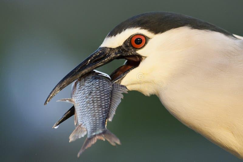 Kwak, Black-crowned Night Heron, Nycticorax nycticorax. Kwak met gevangen vis in bek; Black-crowned Night Heron with caught fish in beak royalty free stock photography