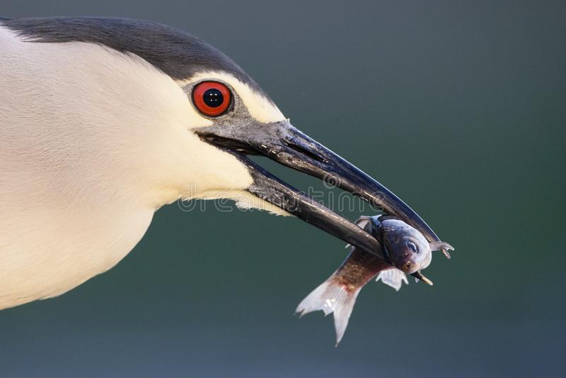 Kwak, Black-crowned Night Heron, Nycticorax nycticorax. Kwak met gevangen vis in bek; Black-crowned Night Heron with caught fish in beak stock image