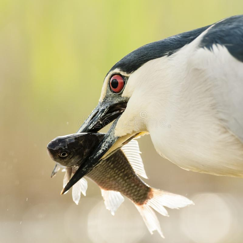 Kwak, Black-crowned Night Heron, Nycticorax nycticorax. Kwak met gevangen vis in bek; Black-crowned Night Heron with caught fish in beak stock photo