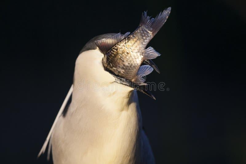 Kwak, Black-crowned Night Heron, Nycticorax nycticorax. Kwak met gevangen vis in bek; Black-crowned Night Heron with caught fish in beak stock photos