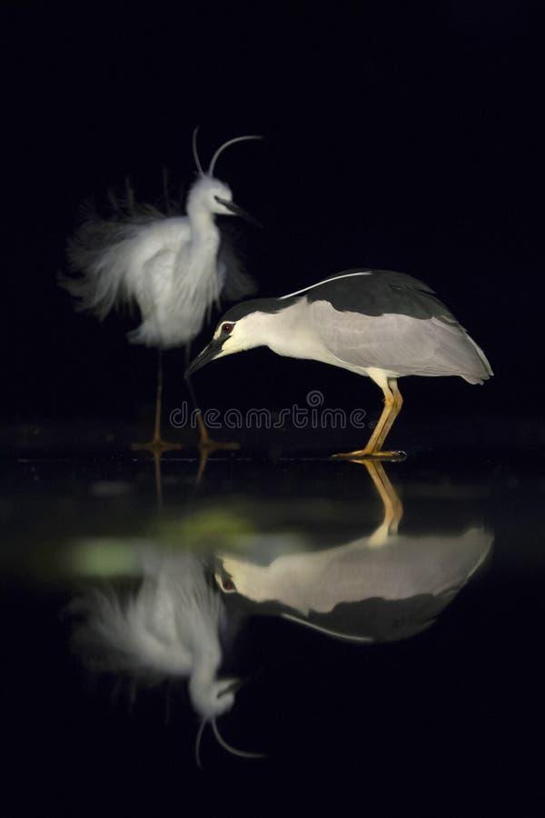 Kwak, Black-crowned Night Heron, Nycticorax nycticorax. Kwak staand op ijs met Kleine Zilverreiger in achtergrond; Black-crowned Night Heron standing on ice with royalty free stock image