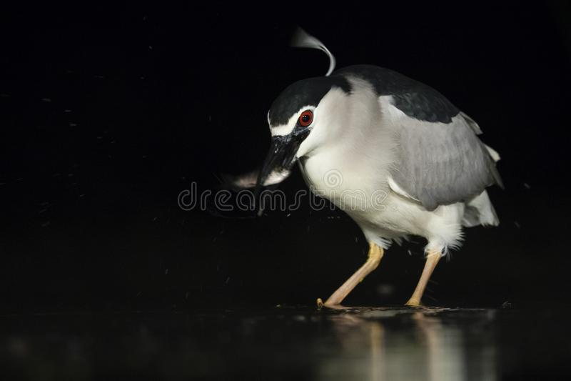Kwak, Black-crowned Night Heron, Nycticorax nycticorax. Kwak vangt vis; Black-crowned Night Heron catching fish stock image