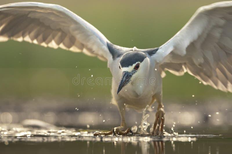Kwak, Black-crowned Night Heron, Nycticorax nycticorax. Kwak opstijgend vanaf water; Black-crowned Night Heron taking off from water stock image