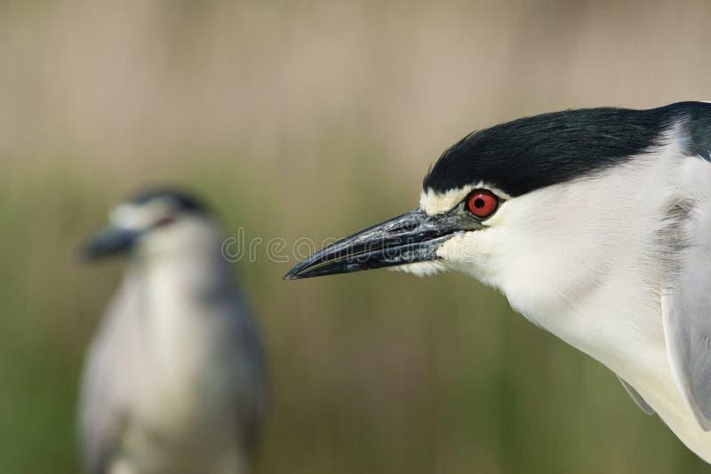 Kwak, Black-crowned Night Heron, Nycticorax nycticorax. Kwak portret met soortgenoot in achtergrond; Black-crowned Night Heron portrait with congener in stock photo