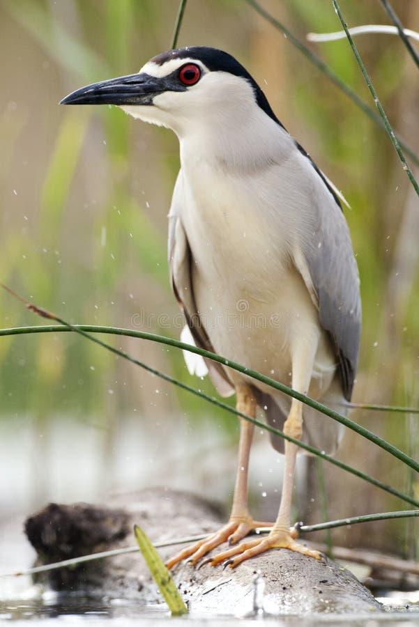 Kwak, Black-crowned Night Heron, Nycticorax nycticorax. Kwak staand op een boomstam in de regen; Black-crowned Night Heron standing on a log in the rain royalty free stock photo