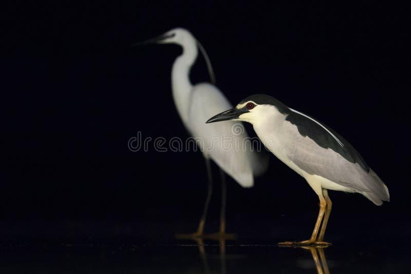 Kwak, Black-crowned Night Heron, Nycticorax nycticorax. Kwak staand op ijs met Kleine Zilverreiger in achtergrond; Black-crowned Night Heron standing on ice with royalty free stock photos