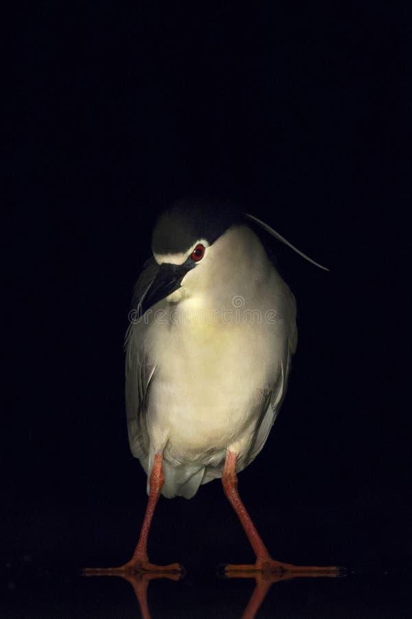Kwak, Black-crowned Night Heron, Nycticorax nycticorax. Kwak staand op ijs; Black-crowned Night Heron standing on ice stock image