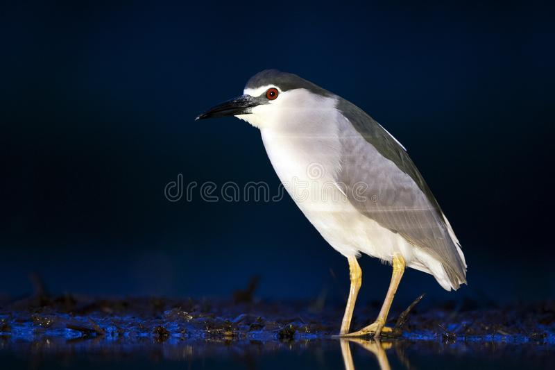 Kwak, Black-crowned Night Heron, Nycticorax nycticorax. Kwak staand op waterkant in de avond; Black-crowned Night Heron standing at waterside in the evening royalty free stock photos