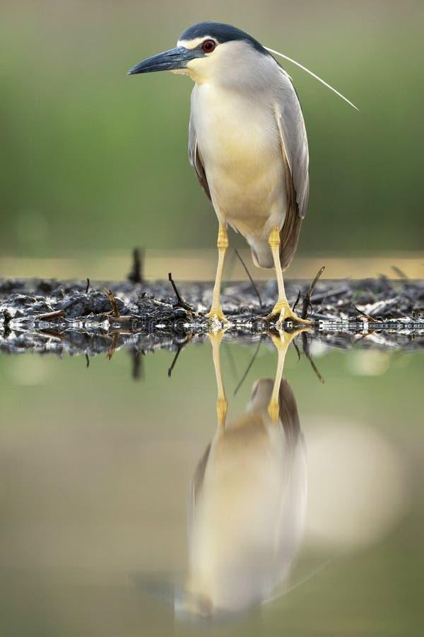 Kwak, Black-crowned Night Heron, Nycticorax nycticorax. Kwak staand op waterkant; Black-crowned Night Heron standing at waterside stock image