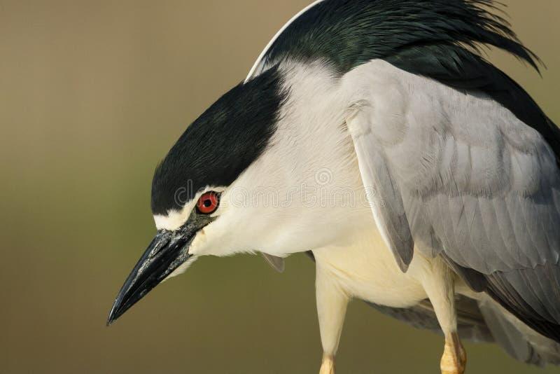 Kwak, Black-crowned Night Heron, Nycticorax nycticorax. Kwak staand; Black-crowned Night Heron standing stock photo