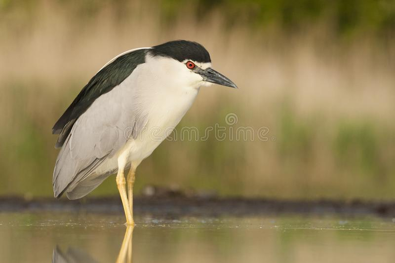 Kwak, Black-crowned Night Heron, Nycticorax nycticorax. Kwak staand in water; Black-crowned Night Heron standing in water stock images