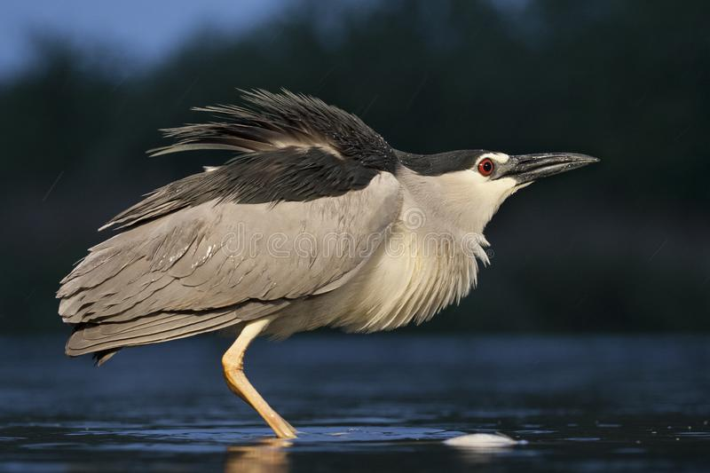 Kwak, Black-crowned Night Heron, Nycticorax nycticorax. Kwak staand in water; Black-crowned Night Heron standing in water stock photos