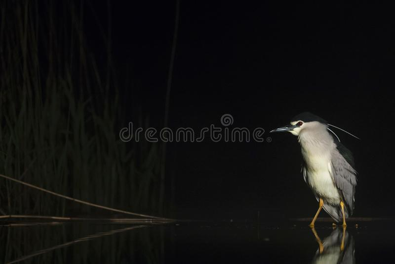 Kwak, Black-crowned Night Heron, Nycticorax nycticorax. Kwak staand in water; Black-crowned Night Heron standing in water stock image
