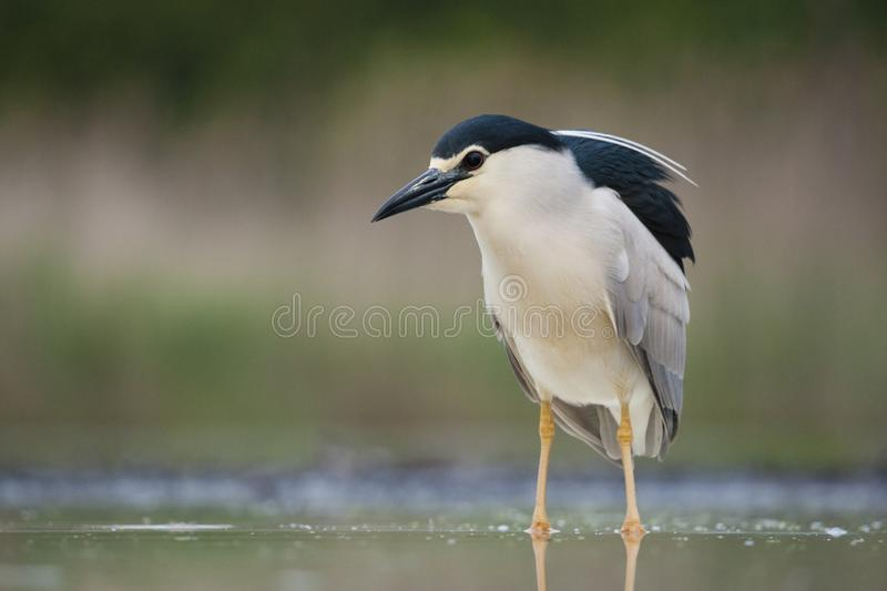 Kwak, Black-crowned Night Heron, Nycticorax nycticorax. Kwak staand in water; Black-crowned Night Heron standing in water stock photography