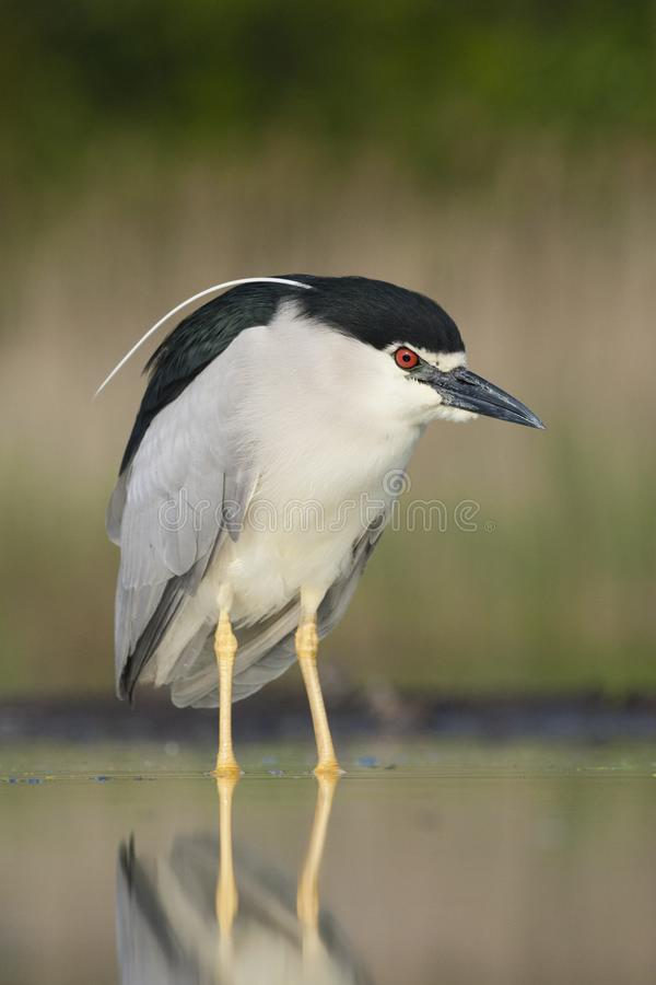 Kwak, Black-crowned Night Heron, Nycticorax nycticorax. Kwak staand in water; Black-crowned Night Heron standing in water royalty free stock photos