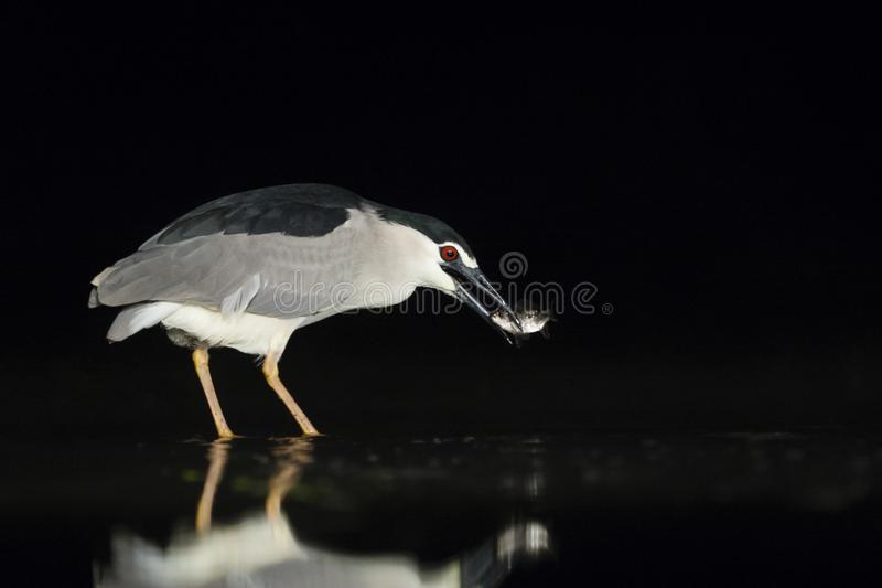 Kwak, Black-crowned Night Heron, Nycticorax nycticorax. Kwak vangt vis; Black-crowned Night Heron catching fish royalty free stock photo