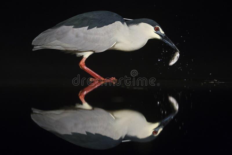 Kwak, Black-crowned Night Heron, Nycticorax nycticorax. Kwak vangt vis; Black-crowned Night Heron catching fish royalty free stock photos