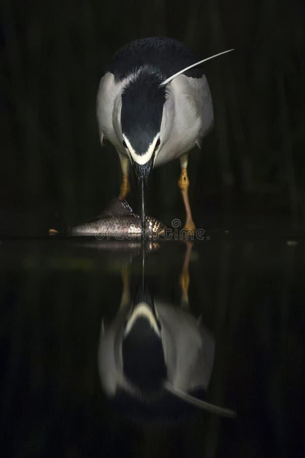 Kwak, Black-crowned Night Heron, Nycticorax nycticorax. Kwak vangt vis; Black-crowned Night Heron catching fish stock photography