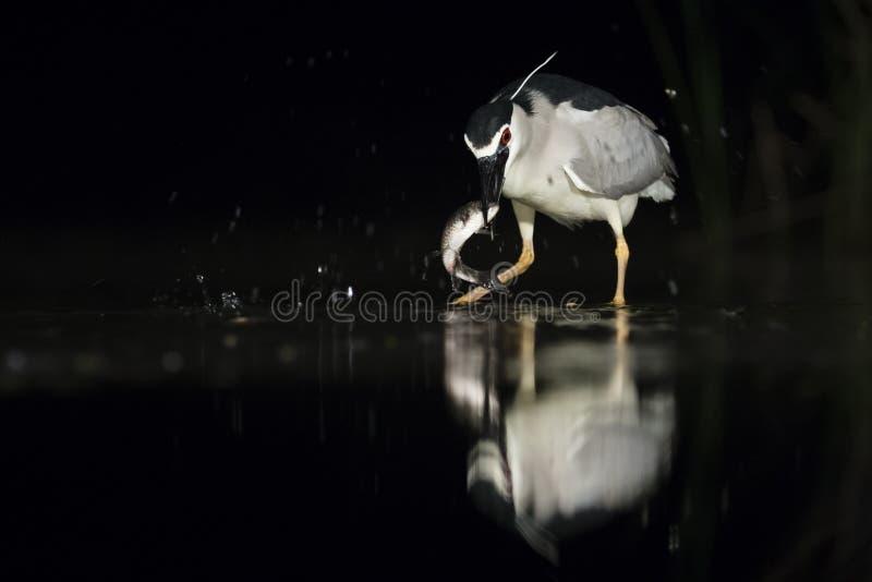 Kwak, Black-crowned Night Heron, Nycticorax nycticorax. Kwak vangt vis; Black-crowned Night Heron catching fish royalty free stock photography