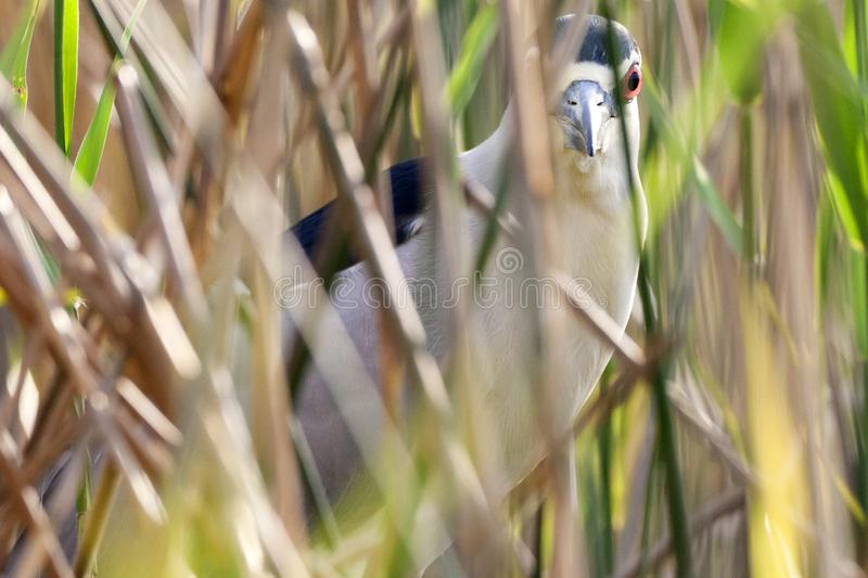 Kwak, Black-crowned Night Heron, Nycticorax nycticorax. Kwak zittend tussen het riet; Black-crowned Night Heron perched in reedbed royalty free stock image