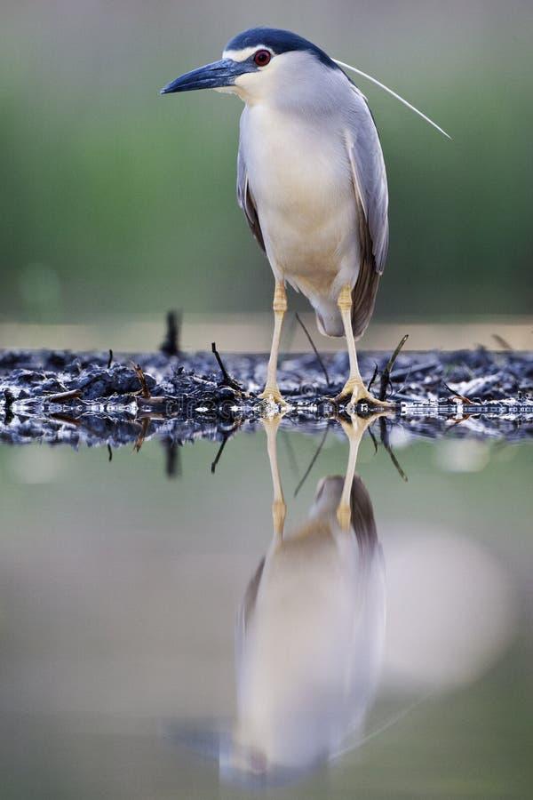Kwak, Nycticorax nycticorax, Black-crowned Night Heron royalty free stock photo