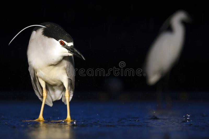 Kwak, Black-crowned Night Heron, Nycticorax nycticorax. Kwak staand in water; Black-crowned Night Heron standing in water royalty free stock image