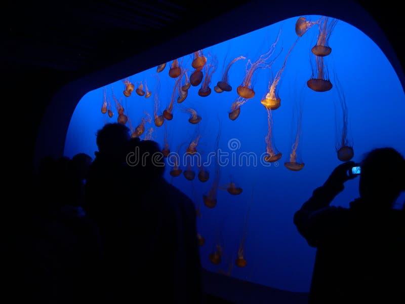 Kwallen bij het Aquarium stock foto