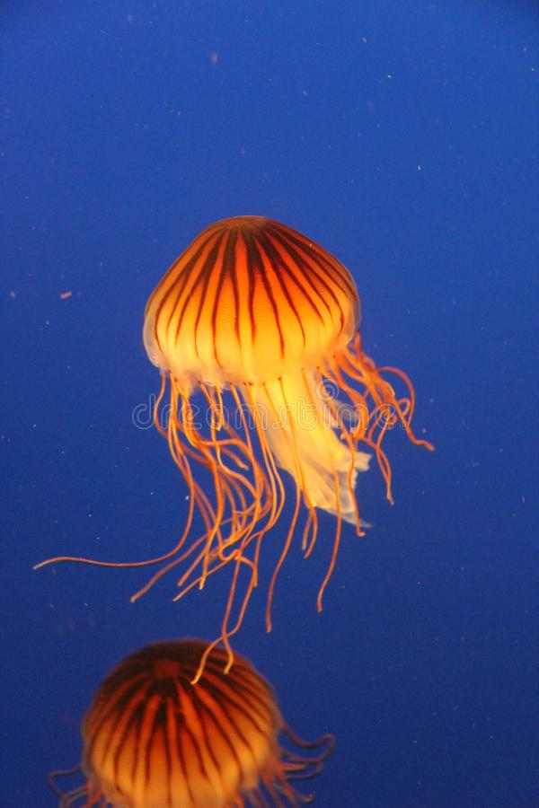 Kwallen bij het Aquarium van Vancouver, Stanley Park, BC stock afbeeldingen