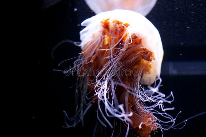 Kwallen Mooie kwallen, kwal in het neonlicht Aquarium met levendige kwallen Het onderwaterleven in oceaan stock afbeeldingen