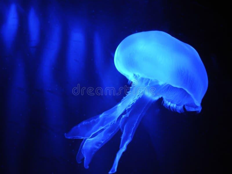 Kwallen op blauw behang als achtergrond