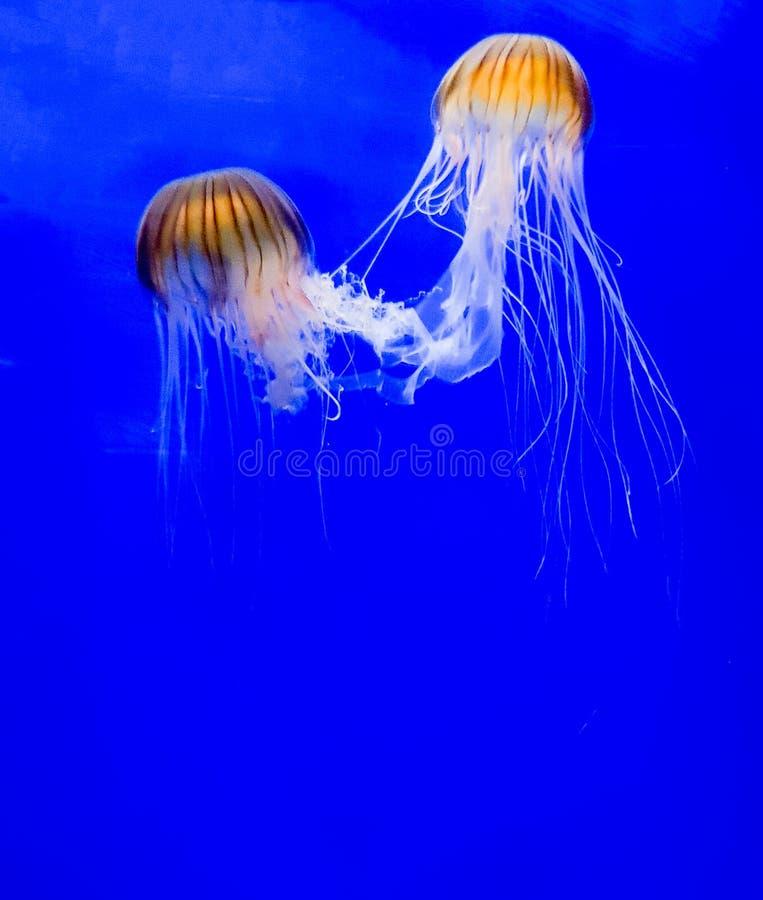 Kwallen of overzeese die gelei met hun tentakels worden ineengestrengeld royalty-vrije stock fotografie