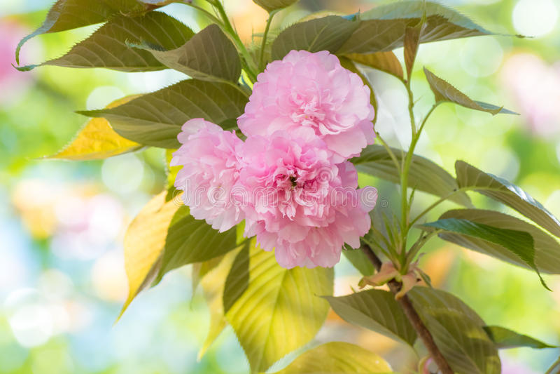Kwanzan Cherry Blossoms image libre de droits