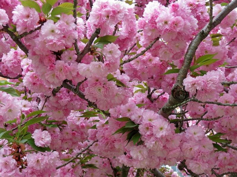 Kwanzan Cherry Blossoms no Washington DC imagens de stock