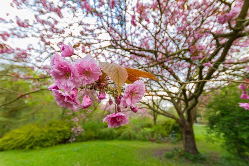 Kwanzan Cherry Tree Blossoms et feuilles, Jesmond Dene, Newcastle image stock