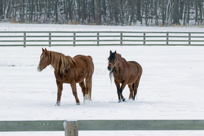 Kwartalni konie w paśniku zdjęcia royalty free