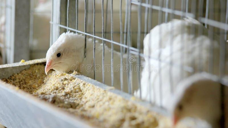 Kwartels in kooien bij gevogeltelandbouwbedrijf stock afbeelding
