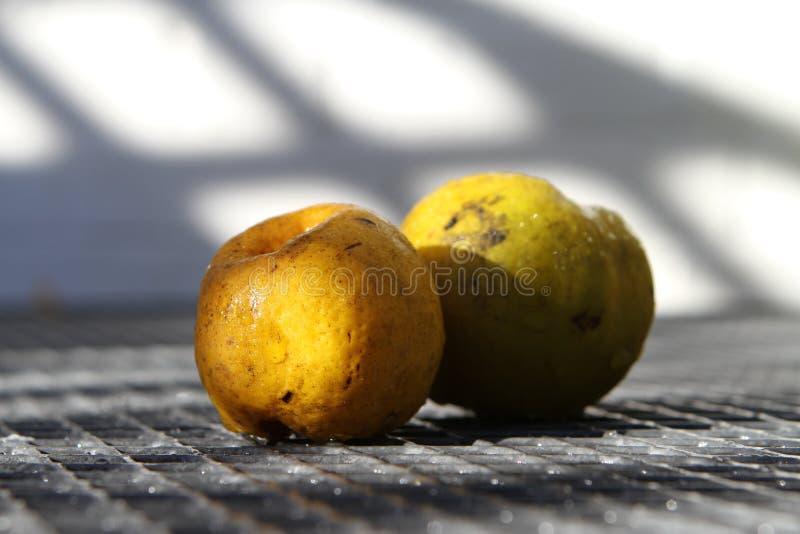 Kweepeer in Autumn Sunlight stock foto's