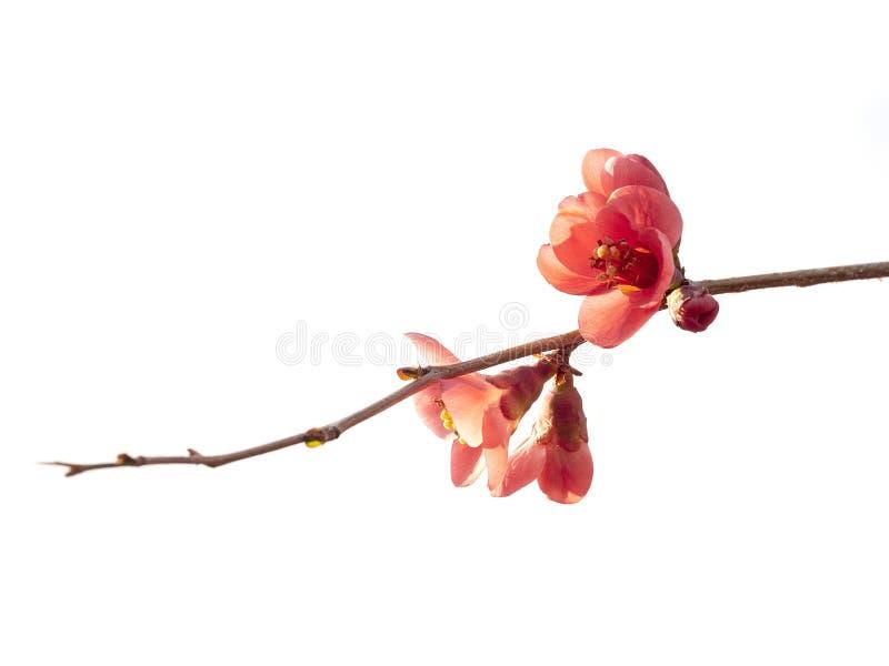 Kweepeer, chaenomeles struik, roze die bloemen, rug op witte achtergrond wordt aangestoken en wordt geïsoleerd De mooie Lente royalty-vrije stock foto
