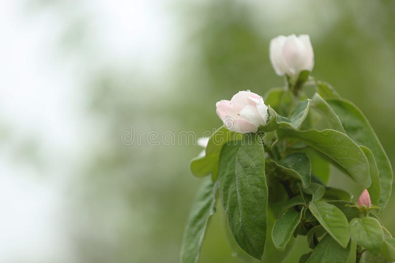 Kweepeerbloemen royalty-vrije stock afbeeldingen