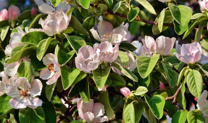 Kweepeerbloemen stock afbeeldingen