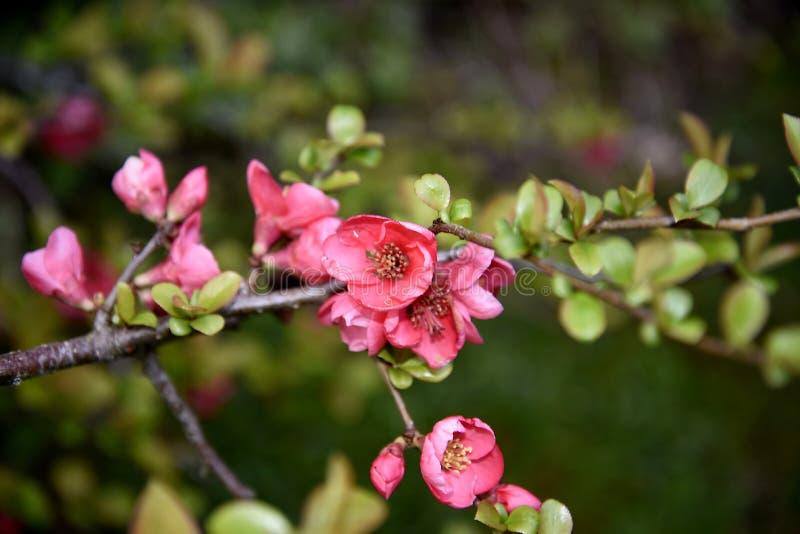Kweepeerbloesem in tuin in Burnley Engeland stock afbeelding