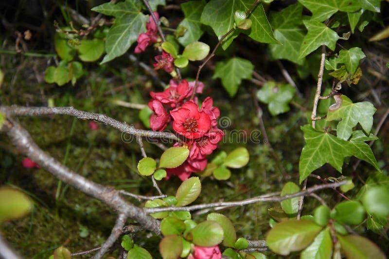 Kweepeerbloesem in tuin in Burnley Engeland stock foto