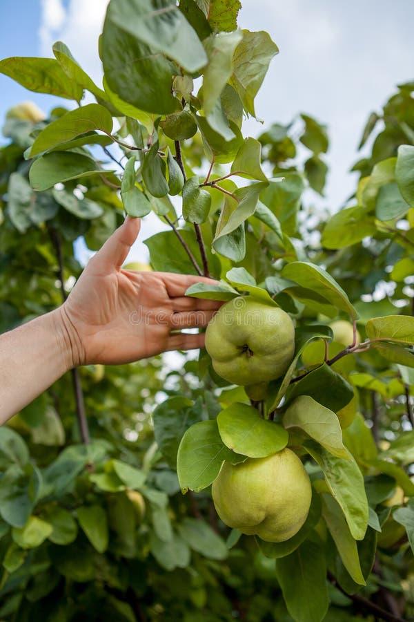 Kweepeerboom met rijp fruit stock afbeeldingen