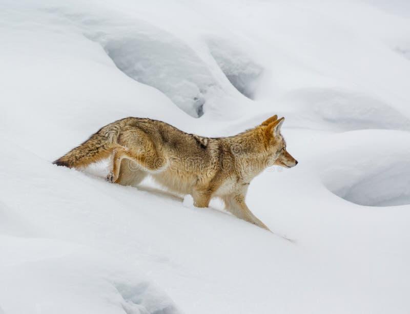 Kwetsbaarst in diepe sneeuw, een coyote zal hop van één openend stock fotografie