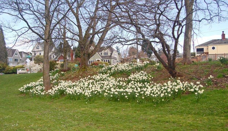 Kwiatów łóżka biali Daffodils przy Greenlake parkiem obraz stock