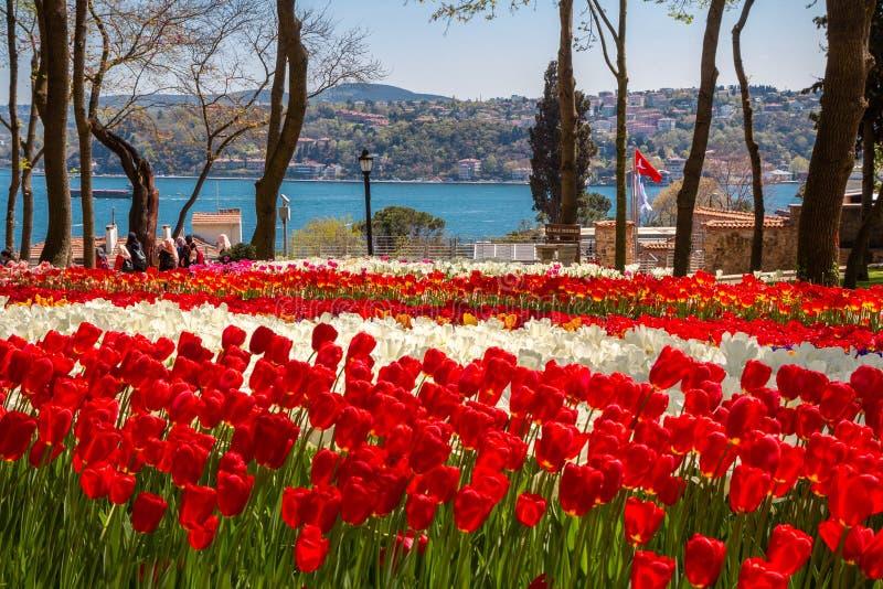 Kwiatów łóżka z czerwonymi i białymi tulipanami w tulipanowym festiwalu Emirgan parku, Istanbuł, Turcja obraz royalty free