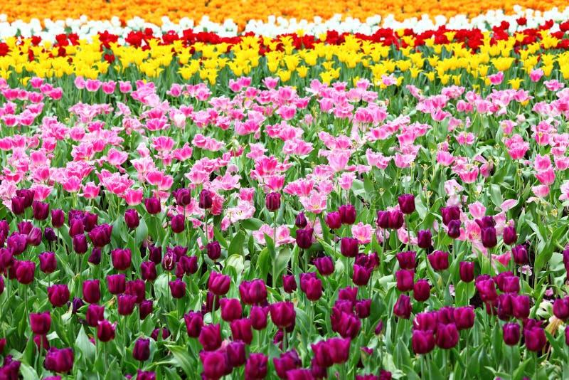 kwiatów śródpolni tulipany fotografia stock