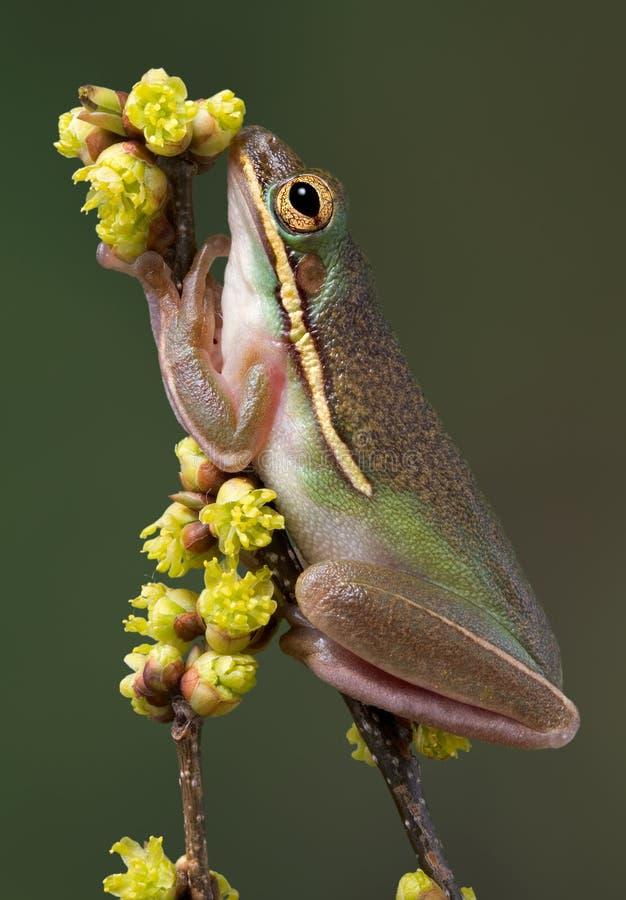 kwiatów żaby zieleni obwąchania drzewo zdjęcie stock