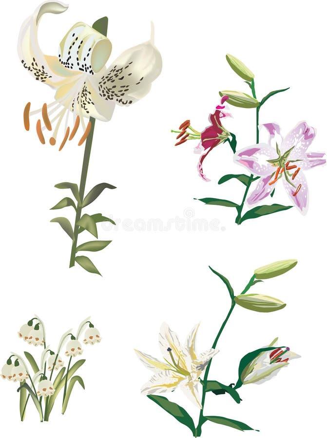 kwiatów cztery lelui ustalony biel ilustracja wektor
