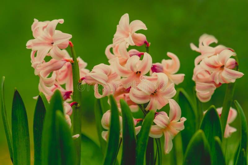 Kwiatów hiacyntów delikatnie menchii makro- fotografia obrazy stock